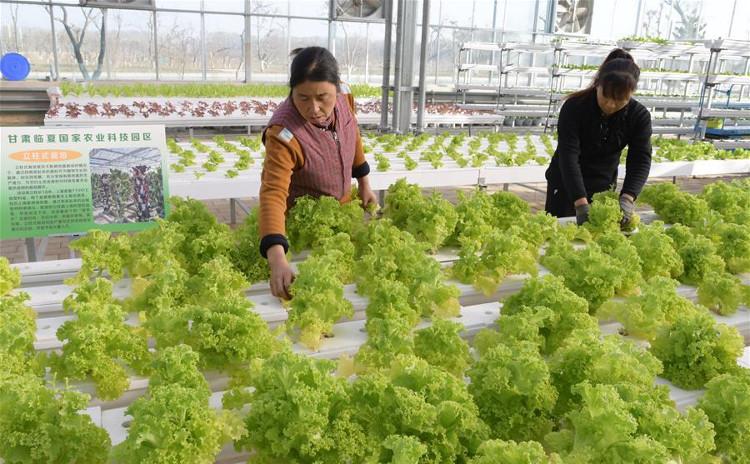 Trồng rau xanh trong nhà kính tại tỉnh Cam Túc, Trung Quốc ngày 30/11.