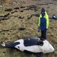 Cá voi sát thủ ba mét chết thảm do bị bão thổi bay lên bờ
