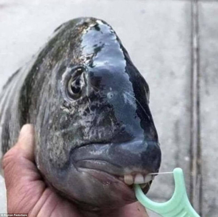 Nhiều người cho rằng đây là cá pacu, dựa trên đặc điểm mắt to và vây lưng ngắn.