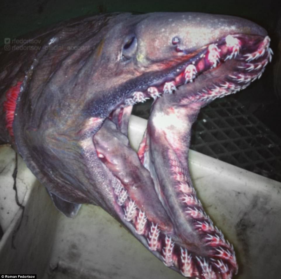 Đây có vẻ như là loài cá mập mang xếp