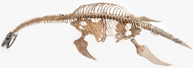 Bộ xương thằn lằn cổ dài.