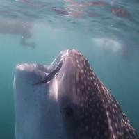 Chiếc miệng to như hố sâu của cá mập voi 10 mét