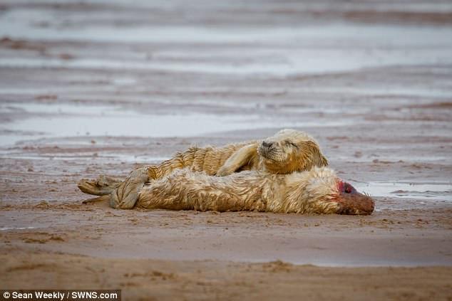 Hải cẩu non tìm sự ấm áp và thoải mái bên xác bạn đã chết.