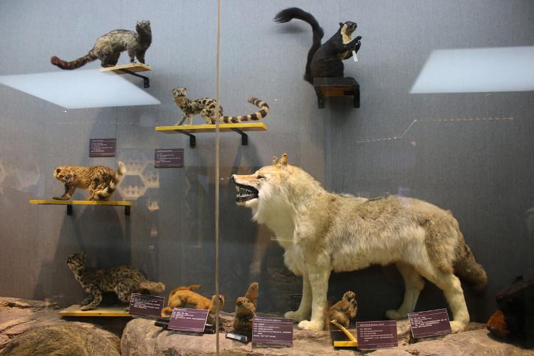 Sói xám và các loài động vật nhỏ sống tại Vân Nam.