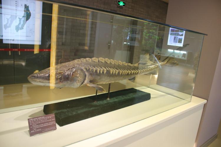 Cá tầm Trung Quốc thường sống ở Nhật, bán đảo Triều Tiên và Trung Quốc.
