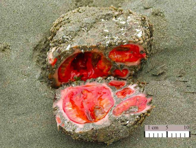 """Sự thật chúng là """"hòn đá sống"""" - 1 sinh vật biển độc đáo tên Pyura chilensis."""