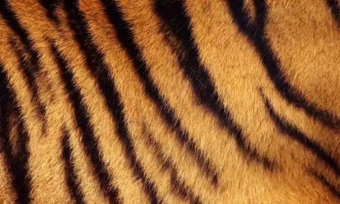 Bộ lông sọc vằn đặc trưng của hổ.