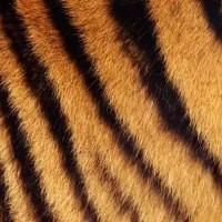 Bạn sẽ cực bất ngờ khi biết lớp da dưới bộ lông sọc vằn của hổ như thế nào