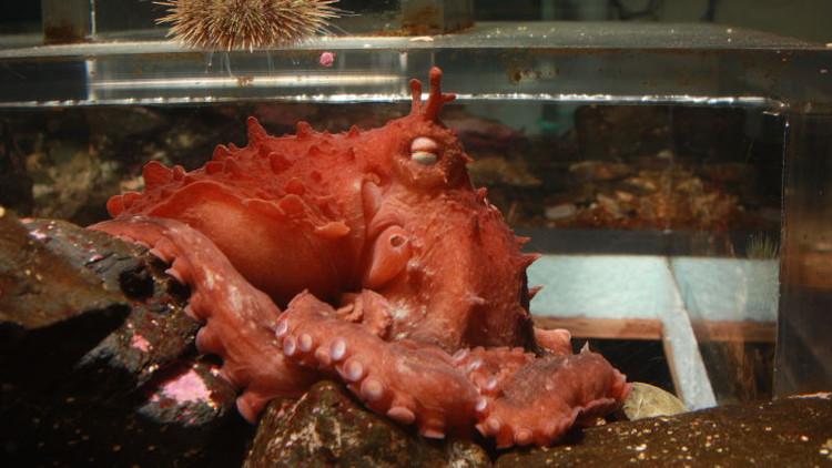 Bạch tuộc khổng lồ Thái Bình Dương có diềm xếp.