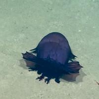 """""""Quái vật"""" gà không đầu - Sinh vật bí ẩn mới được tìm thấy dưới đáy biển vịnh Mexico"""
