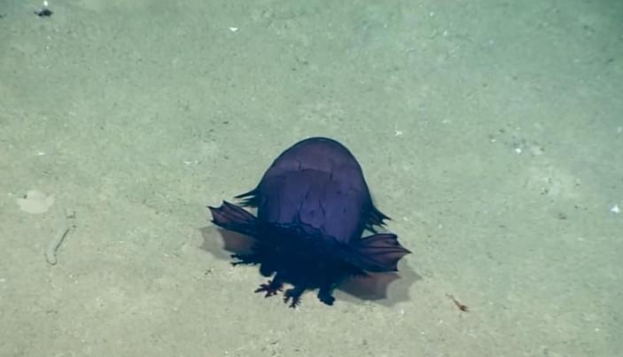 Quái vật gà không đầu vừa được phát hiện dưới đáy biển ở vịnh Mexico.