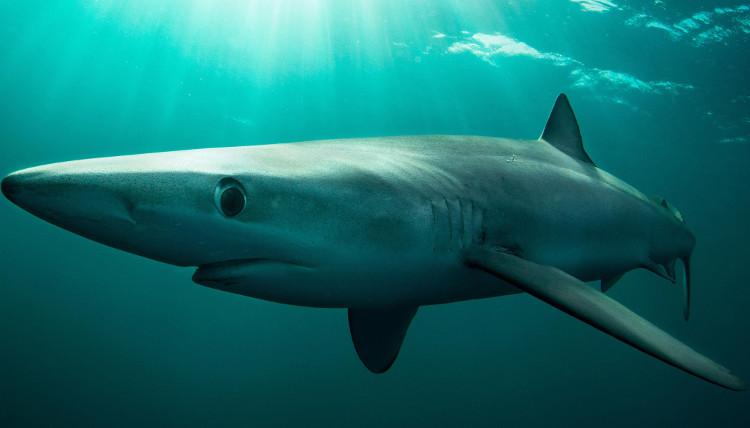 Cá mập lưỡng tính rất hiếm gặp.
