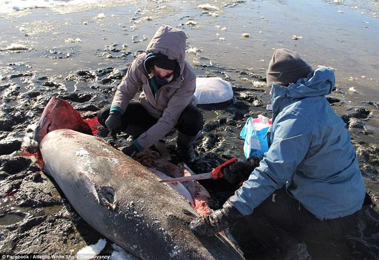 Cá mập vốn sinh ra để chịu lạnh, nhưng lần này cũng phải bó tay.