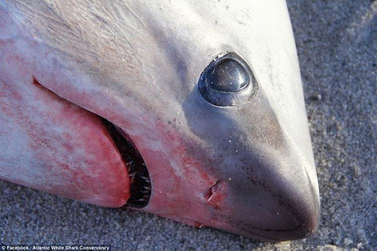 Cá mập chết cóng tại biển Mỹ.