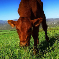 Thịt bò ăn cỏ tốt hơn cho bạn?