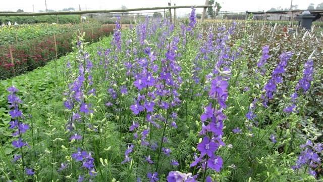 Hoa violet còn có khả năng chống lại các chất khí độc như SO2, H2S.