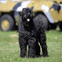 """Liên Xô đã tạo ra """"siêu chó"""" của riêng mình như thế nào?"""