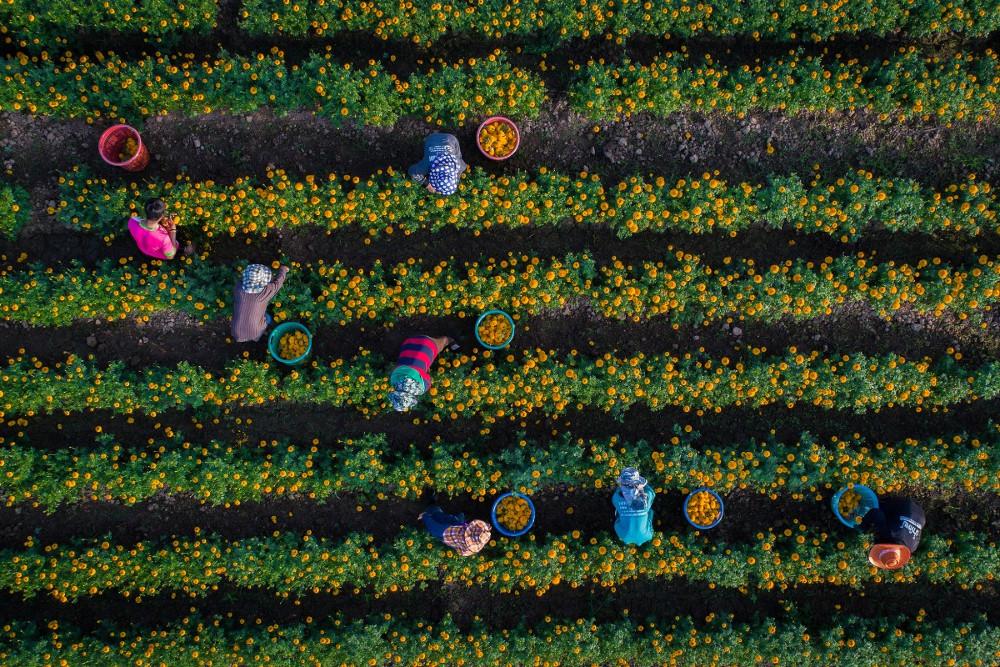 Nông dân thu hoạch cúc vạn thọ vào buổi sáng trên cánh đồng ở tỉnh Sukhothai, Thái Lan.