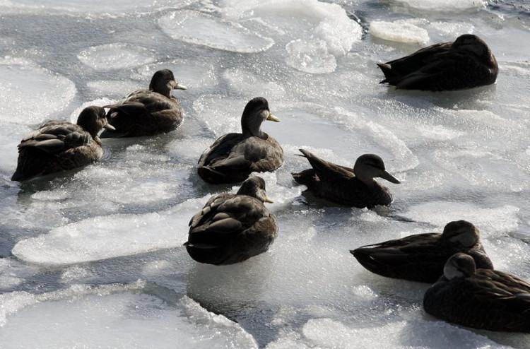 Vịt trên vùng biển đã đóng băng tại cảng Boston.