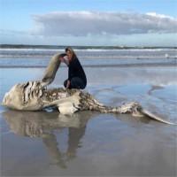Bí ẩn chưa có lời giải về những con cá mập trắngbị moi gan, móc tim trong năm 2017