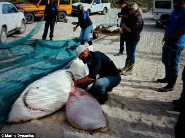 Cá mập trắng khổng lồ trôi dạt trên bờ biển Nam Phi, trong tình trạng mất sạch lá gan.