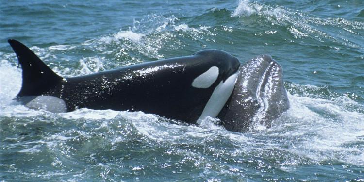 Cá voi sát thủ sẵn sàng tấn công cả cá voi xanh to lớn.