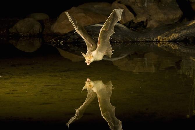 Dơi thường hoạt động và săn bắt vào ban đêm.