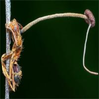 Nấm mọc dài sau khi biến kiến thành xác sống