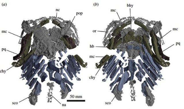 Hình ảnh cắt lớp bộ xương cá mập cổ đại