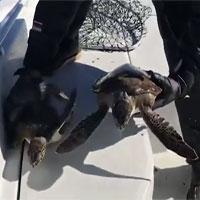"""Hàng trăm rùa biển """"sốc lạnh"""" trôi bất động dưới nước"""