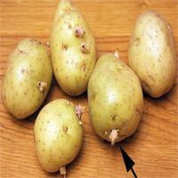 Tại sao khoai tây mọc mầm gây độc cho cơ thể