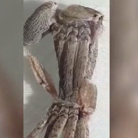 Video: Cuộc lột xác khó nhọc của nhện thợ săn