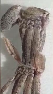 Con nhện đực được cho là nhện thợ săn, dồn toàn bộ sức lực để thoát ra khỏi bộ da cũ