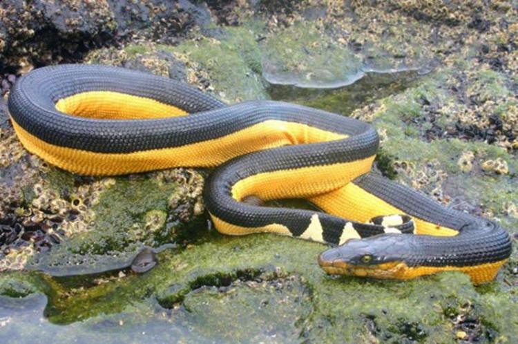 Rắn Hydrophis platurus trú nhiều ở giữa bờ biển phía Đông Nam Phi và bờ biển phía Tây Bắc Mỹ.