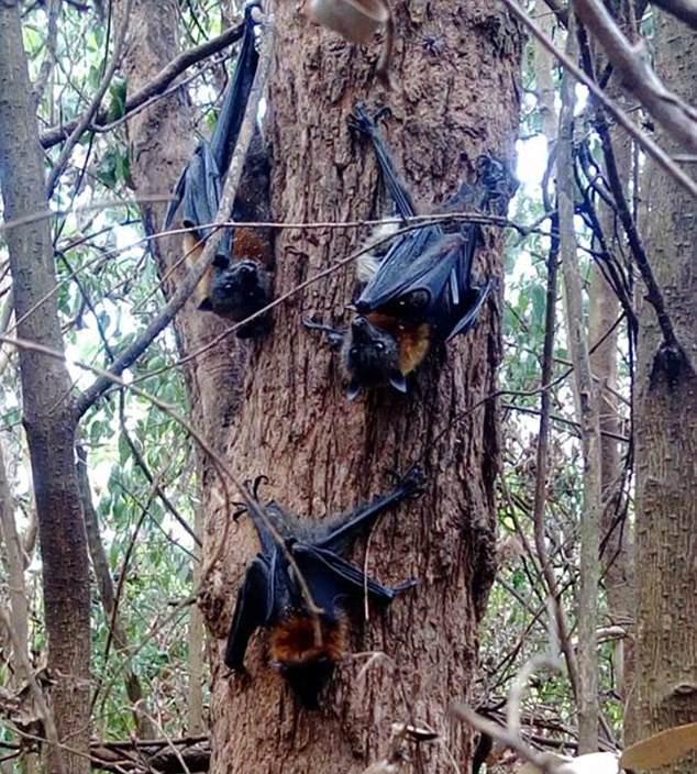 Những con cáo bay bị chết khô trên cây.