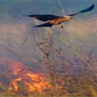 Loài chim biết dùng lửa lùa mồi để đi săn
