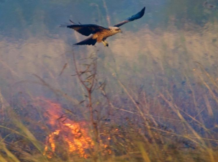 Chim diều hâu và chim cắt làm đám cháy lan rộng để dễ bề săn động vật nhỏ chạy ra.