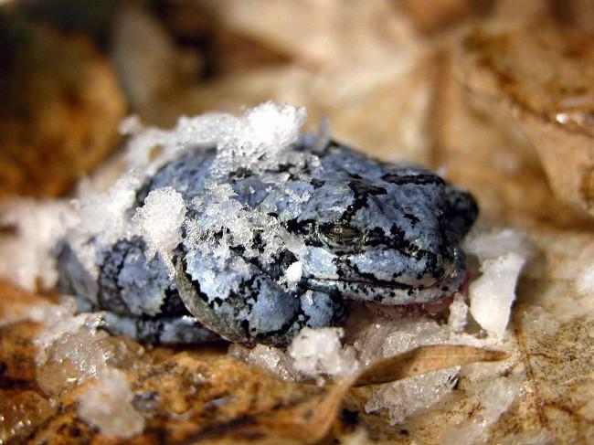 """Trong suốt quá trình """"ngủ đông"""" này, khoảng 70% cơ thể của ếch sẽ đóng băng"""