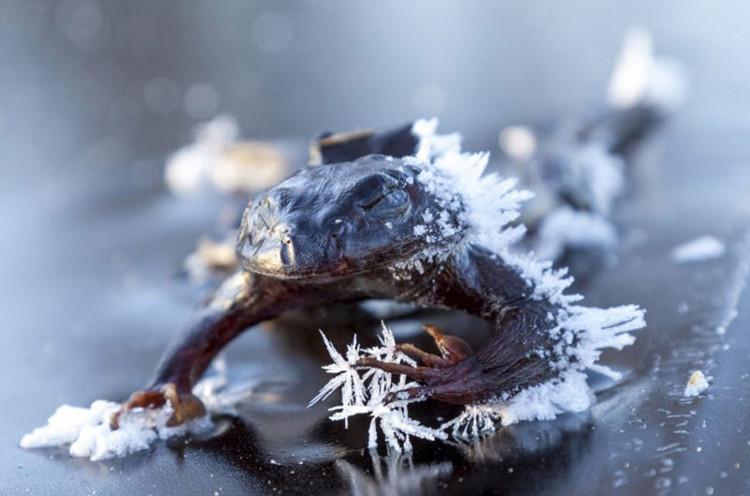 Chất thải có trong nước tiểu của ếch có vai trò giúp ếch sống sót sau giai đoạn đóng băng.