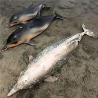 Gần 100 xác cá heo xám dạt vào bờ biển Brazil