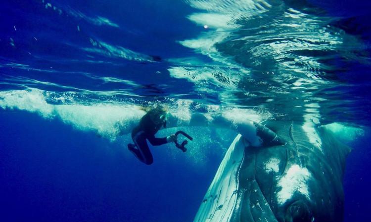 Cá voi lưng gù nặng 23 tấn cứu mạng Hauser khỏi cá mập hổ.