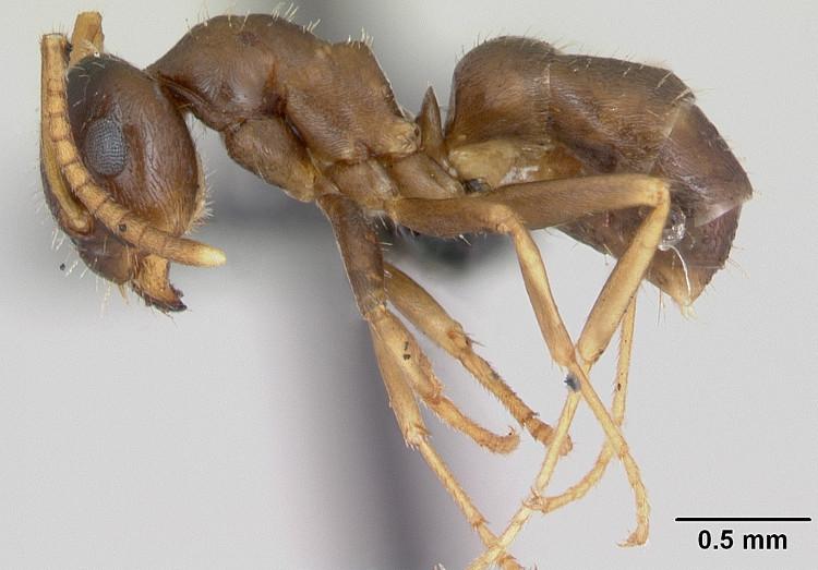 Kiến Lasius neglectus tiêu diệt đồng loại để ngăn chặn dịch bệnh.
