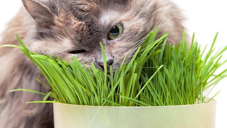Mèo cũng thường xuyên ăn cỏ và không liên quan gì đến những cơn đau dạ dày hoặc những bệnh khác.