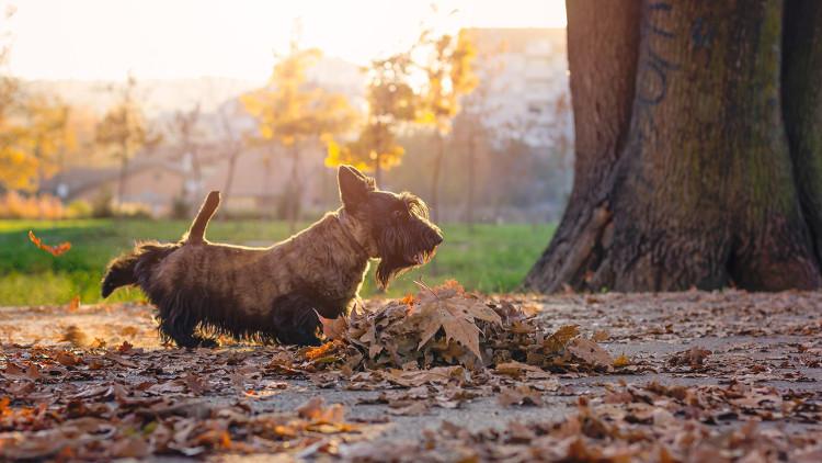 Đây là một tập tính thường thấy của họ nhà chó, nhằm phân cấp tầng lớp trong 1 vùng lãnh thổ.