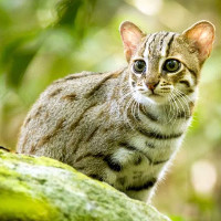 Thước phim siêu hiếm về loài mèo nhỏ nhất thế giới: bản năng bất chấp kích cỡ