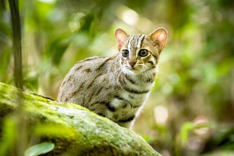 Mèo đốm gỉ (Prionailurus rubiginosus)