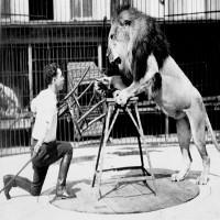 Công việc thuần hóa sư tử trong rạp xiếc được thực hiện như thế nào?