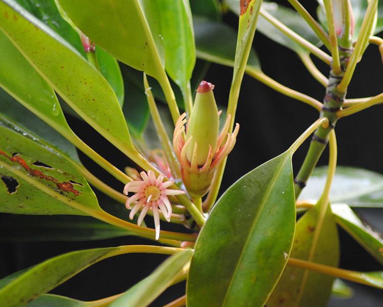 """Loài cây đặc biệt này có khả năng kỳ lạ bậc nhất thế giới và Việt Nam bởi có thể """"sinh con""""."""
