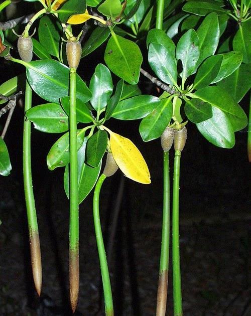 Đây là một hiện tượng vô cùng hiếm gặp ở các loài thực vật trên thế giới và ở Việt Nam,