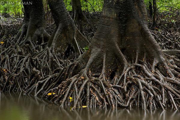 Vẹt đen cũng là cây gỗ có giá trị kinh tế cao